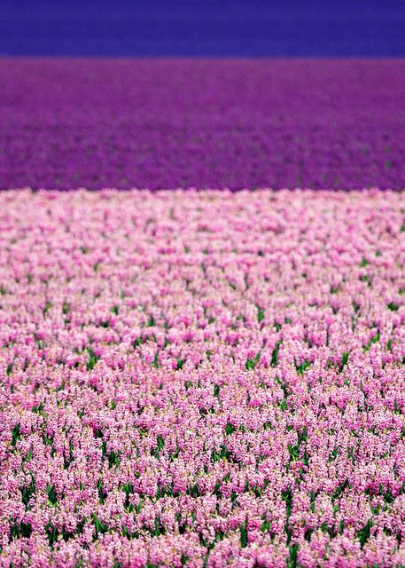 """""""Dutch flower fields: The endless flower fields in my home village Limmen - North Holland,"""" by A - Photography, via Flickr"""
