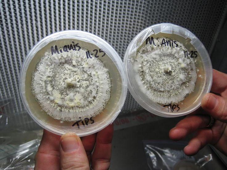 Cordyceps fungus mushroom culture that attacks fire ants in petri dishes, courtesy of Mushroom Mountain