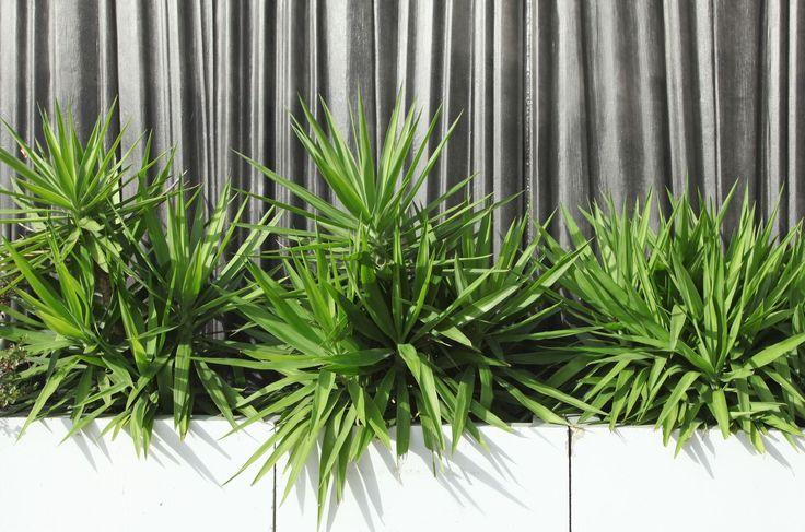 Cette plante vivace arbustive, très répandue au sud des États-Unis, se taille et se bouture très facilement.