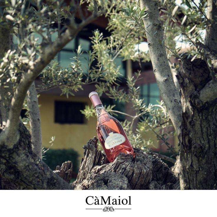 Roseri al fresco degli Ulivi! #lovingcamaiol