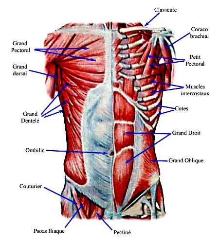 Muscle du torse