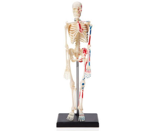 An anatomical snap-together kit that your kids will want to put together right away.