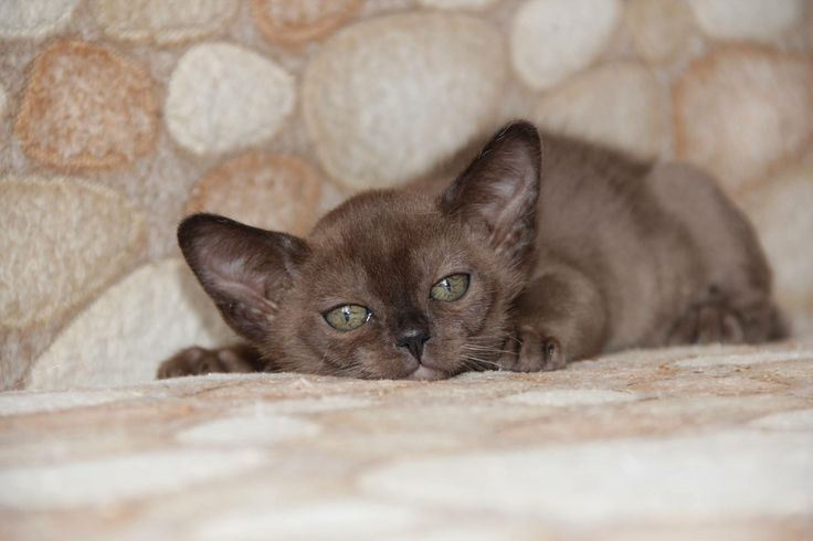 Our sweetheart KZ*Burmorion's Umi in younger age! 😍😍😍 #silkysensefamily #silkysensecattery #burmeseboy #brownburmese #burmeseking #burmesecatsgreece #burmesecatsaregreat #burmeselovers #catslover #catmodels #lifeisbetterwithcats 🤗🤗🤗🐱🐱🐱😻😻😻❤️❤️❤️🐈🐈🐈