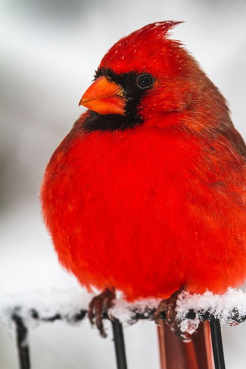 ~~Northern Cardinal ~ during a snowstorm in Central Park, NYC by ron.diel~~