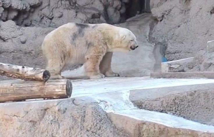 """""""Arturo"""", un oso polar de 29 años de edad, ha pasado las últimas dos décadas en el Zoológico de Mendoza, donde en el verano las temperaturas pueden llegar a los 40 grados Celsius. En el Ártico, de donde son oriundos los osos blancos, las temperaturas pueden llegar a 40 bajo cero. Más de 400 mil personas piden trasladar al 'animal más triste del mundo'."""