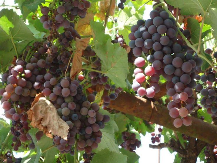 ..... и черный #виноград