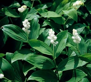 Maianthemum racemosum s an herbaceous perennial to 75cm. Grow in moderately fertile, humus-rich, lime-free, moist but well-drained soil in partial or deep shade. Shelter from cold winds. H4