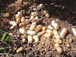 Pointers on Growing Peanuts
