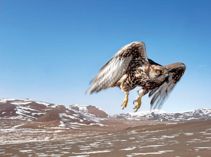 Auge in Auge: Ein Falke fliegt dem Fotografen vor die Linse.