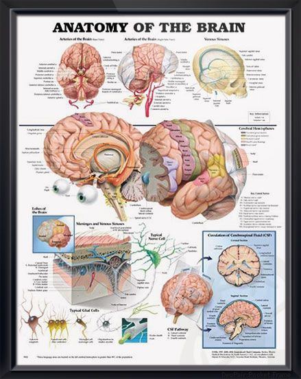 Anatomy of the Brain poster depicts base and right side views of arteries of the brain as well as venous sinuses. Neurology chart for doctors and nurses.