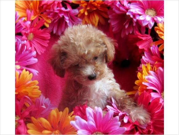 Toy Cockapoo...the cutest thing on earth.