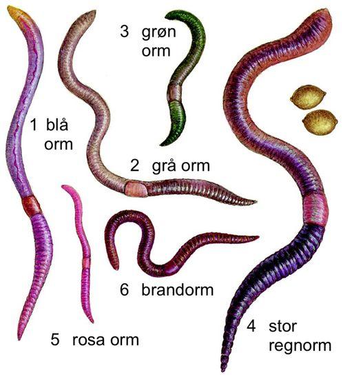 regnorme, gruppe af oligochæter, der omfatter de større, jordlevende former. De er grupperet i flere familier; alle de ca. 25 fritlevende danske arter tilhører familien Lumbricidae.