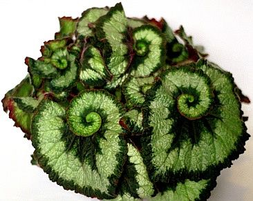 Begonia rex 'Escargot' might just be the perfect house plant, as it resists diseases and insects. Will do very well in a conservatory, a greenhouse, a windowsill or in a summer patio/yard container; perennial evergreen with flowers in fall; hardy in zones 10-11