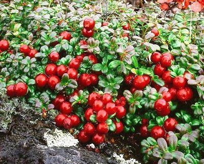 Lingonberry ( Vaccinium vitis-idaea )