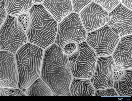 Surface of zebrafish skin