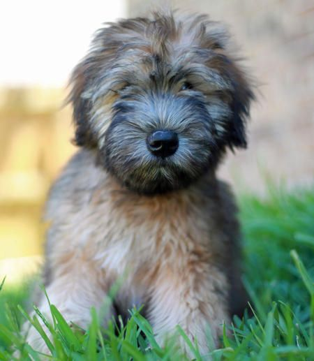 soft coated wheaten terriers. precious.  this what my dog looked like as a puppy too cute :)