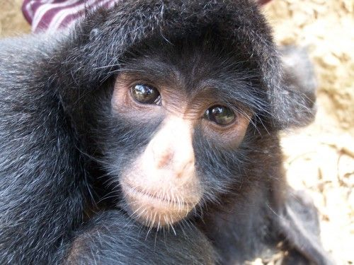 The black-headed spider monkey is a type of monkey found in Panama, Columbia, and Ecuador.