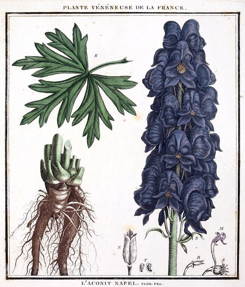 Best Aconitum Images On Pinterest Perennials Wolfsbane And - Where does wolfsbane grow in the us map