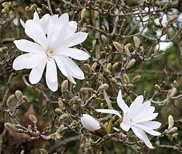 """Magnolia stellata, sometimes called the star magnolia, is a slow-growing shrub or small tree native to Japan. It bears large, showy white or pink flowers in early spring, before its leaves open. This species is closely related to the Kobushi magnolia (Magnolia kobus)"""