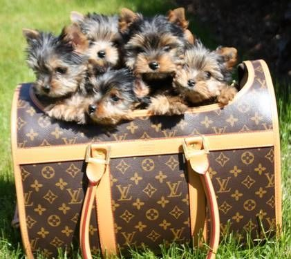 Louis Vuitton full of Yorkies- this is what my dreams are like! ;)