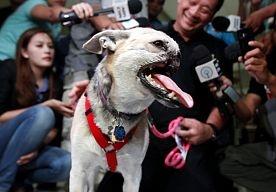 9-Jun-2013 15:52 - IN BEELD. VERMINKTE HOND KRIJG HELDENONTVANGST. De Filipijnse hond Kabang (2), die bij een heldendaad zwaar verminkt raakte, is teruggekeerd na een behandeling in de Verenigde Staten. In 2011 redde het dier het leven van twee meisjes, maar verloor daardoor haar bovenkaak en snuit. Haar gezicht kon niet gereconstrueerd worden.
