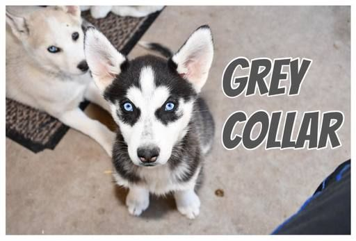 Litter Of 8 Siberian Husky Puppies For Sale In Chandler Az Adn