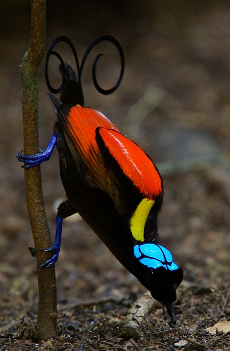 Wildon's Bird of Paradise (Cicinnurus respublica), Batanta Island, Papua, Indonesia