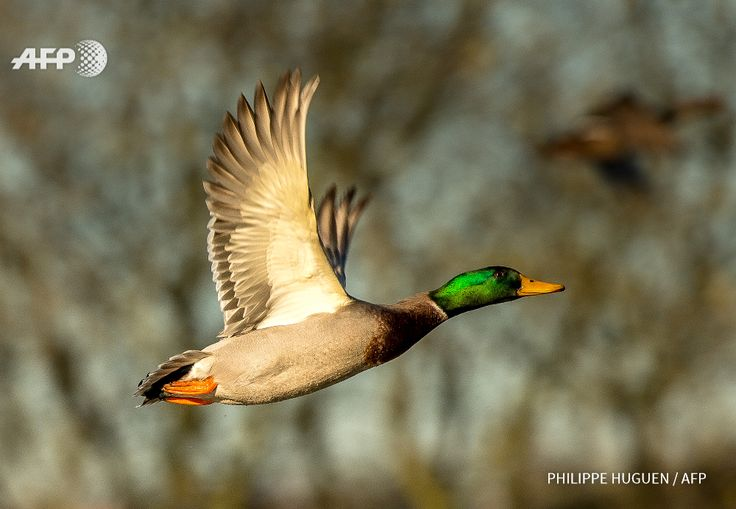 A picture taken on November 29, 2106 shows a wild mallard duck in Godewaersvelde. A first case of highly pathogenic avian influenza H5N8 was detected and confirmed on a wild duck in Marck, Pas-de-Calais, on November 26, 2016 in the Pas-de-Calais, the...