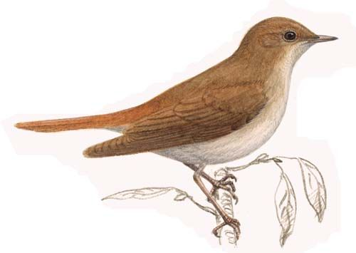 Nightingale Bird - Bing Images