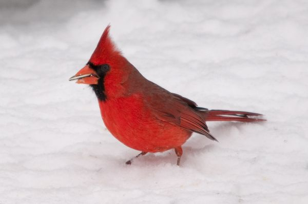 Northern cardinal in the snow cardinalis pinterest - Pictures of cardinals in snow ...