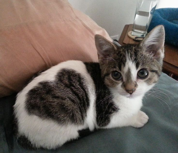 "Adorable kitten with a ""heart"" spot!"
