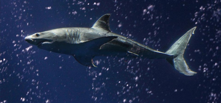 Monterey Bay Aquarium...love when they have a White Shark ...