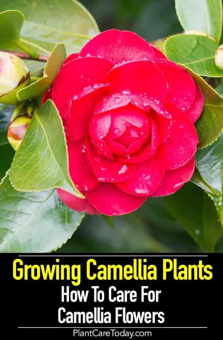 Growing Camellia Plants How To Care For Camellia Flowers Camellia Plant Plants Growing Flowers