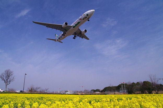 菜の花が一番きれいに観賞できる時期福岡空港の画像