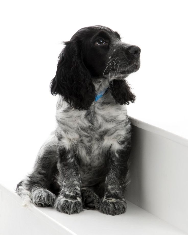 So cute! black roan english cocker spaniel