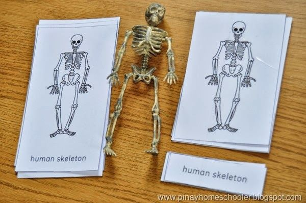 The Human Skeleton from The Pinay Homeschooler