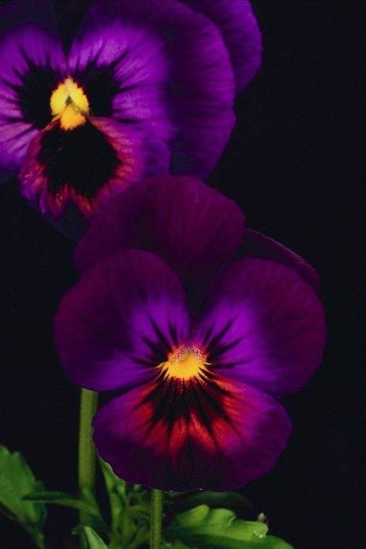 293 Best Pansys Violas And Johnny Jump Ups Images On Pinterest
