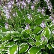 Hosta 'Francee'. Suitable for Living Wall Shade Plant. Click image to get care advice.     Other names: Plantain lily 'Francee'    Genus: Hosta    Variety or cultivar: 'Francee' _ 'Francee' is a clump-forming perennial with heart-shaped, strongly veined mid-green leaves, finely edged with white. Funnel-shaped lavender flowers form on stems.