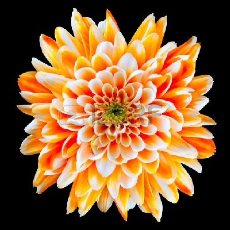 Single Orange and White Chrysanthemum Flower Isolated on Black Background. Beautiful Dahlia Flowerhead Macro