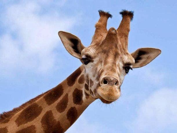 Sacrificio a jirafa en un zoológico causa gran polémica   #portadadelmundo