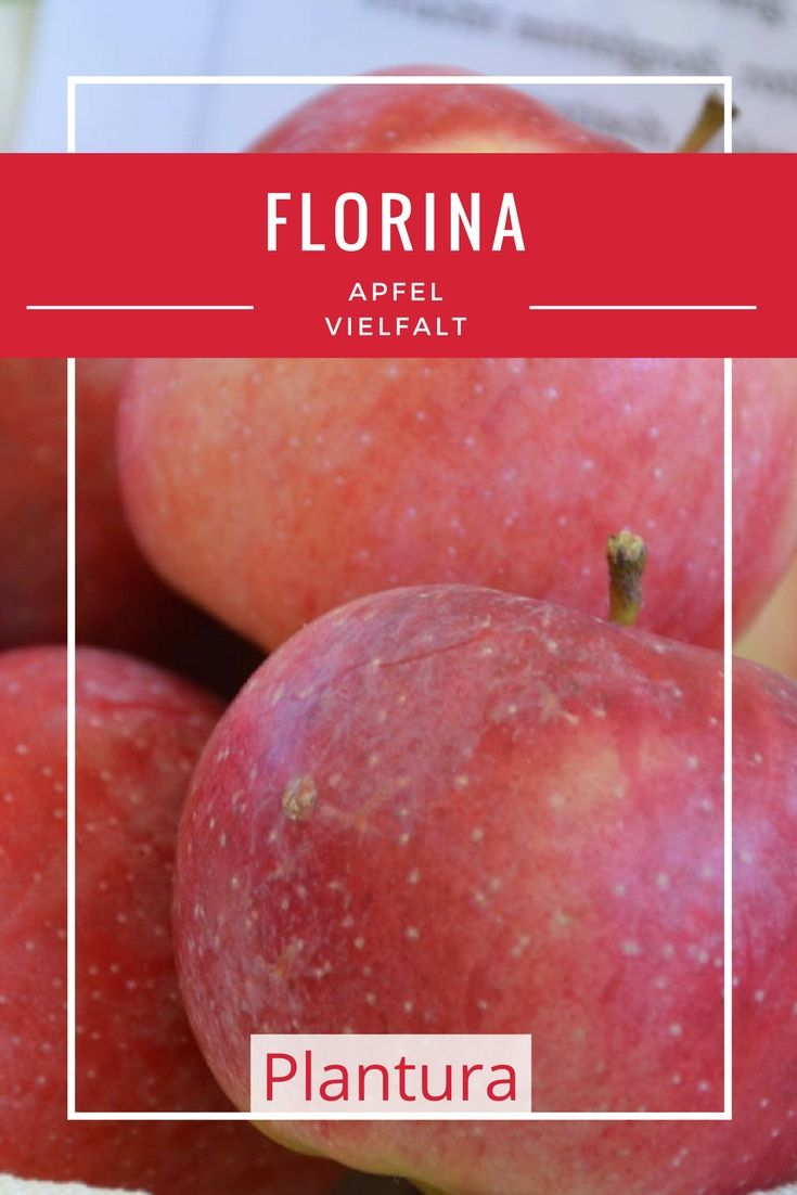 Die Äpfel der Sorte Florina sind knackig-saftig und besitzen ein angenehmes, leicht süßes Aroma.
