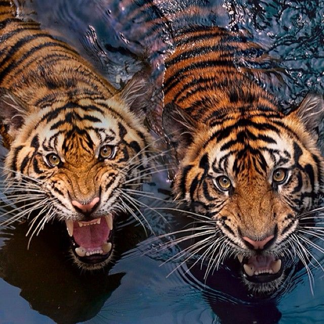 "@theshockmansion's photo: ""Big cats! #randomradness #shockmansion #tiger #epic"""
