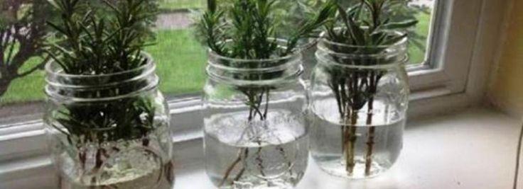 7 fűszernövény ami akár a vízben is nőhet