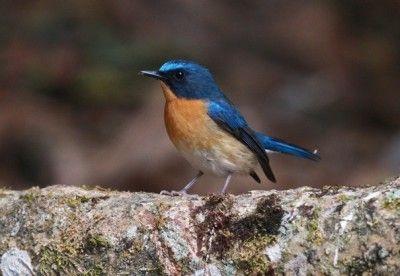 Harga Burung Tledekan Terbaru