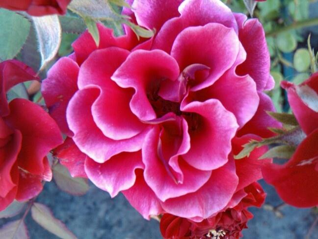 Encontré esta bella rosa en mi jardín