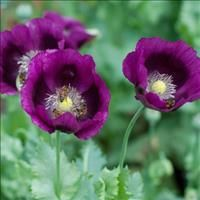 Select Seeds - Poppy 'Lauren's Grape'