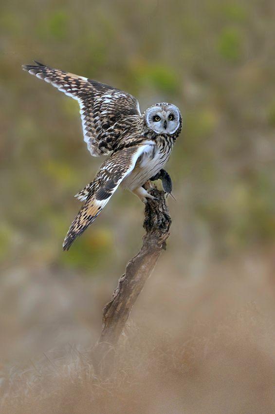 Short-eared owl (Asio flammeus) コミミズク