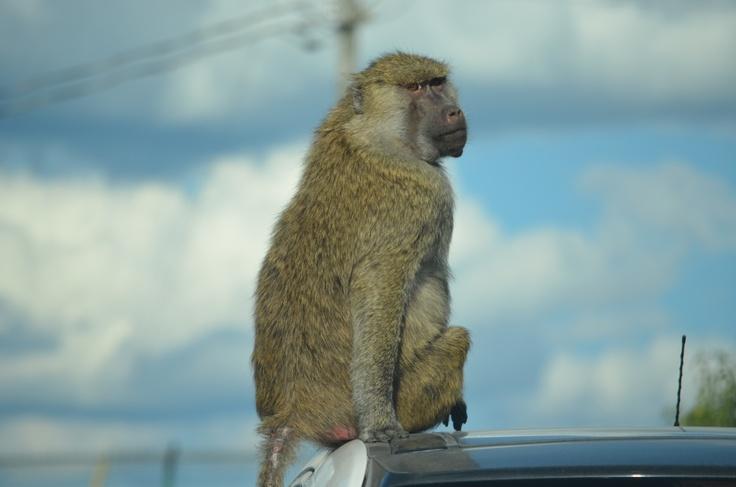 Monkeys (well sort of, kids call them that).