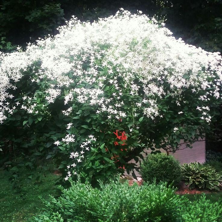 Sweet autumn clematis in my garden.