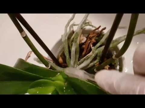Orkide Hastalıkları Pamukçuk Biti . Orchid sick. - YouTube